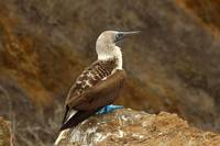 Blue Footed Boobie on a Rock