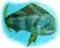 Common Dolphinfish or Mahi-Mahi