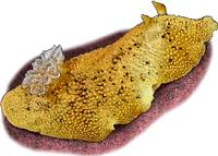 Pacific Sea Lemon or Sea Slug Nudibranch
