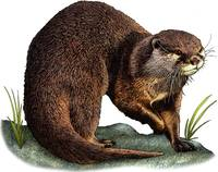 Asian or Oriental Small-Clawed Otter