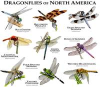 Dragonflies of North America