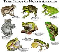 Tree Frogs of North America