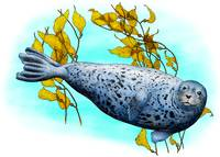 Common Harbor Seal