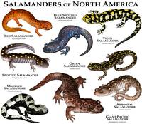 Salamanders of North America
