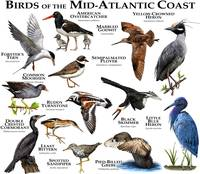 Bird of the Mid-Atlantic Coast