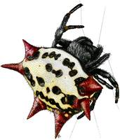 Spiny-Backed Orb Weaver Spider