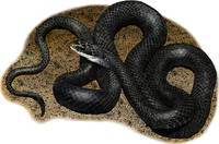 Northern Black Racer Snake