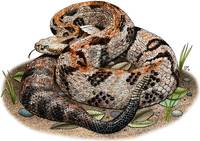 Timber or Canebrake Rattlesnake