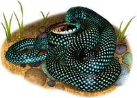 Speckled Racer Snake