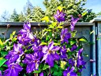 Solina Clematis on Fence