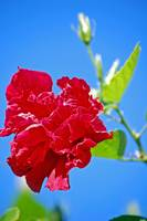 Red Flower In A Blue Sky
