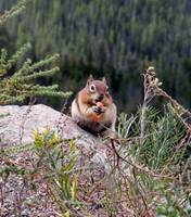 Chubby Ground Squirrel