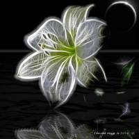 Lily of Light in the Moonlight