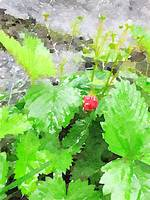 Wild Strawberry II