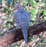 Beautiful Mourning Dove