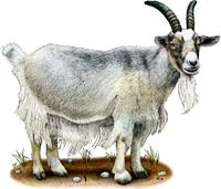 Domestic Goat