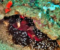 Red Anemonefish in Anemone