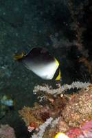 Black and White Angelfish
