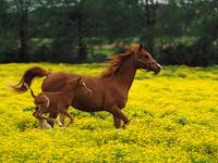 Graceful Mare And Pony Gallop With The Wind
