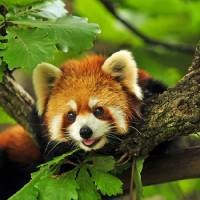 """Smiling Cute Red Panda Cub Peeks Out From A Tree"" by AnswersFound"