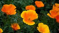 Orange Poppy Flowers Meadow