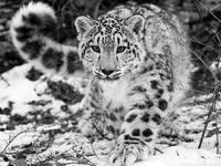 A Snow Leopard In The Snow, Winter Time
