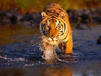 Bengal Tiger Prepares To Strike By The River