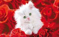 Fluffy White Kitten Red Roses