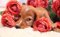 Cute Puppy Smells The Red Roses