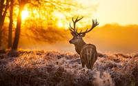 Majestic Buck Deer In The Forest At Sunset