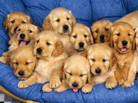 10 Golden Retriever Puppies
