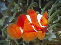 Swimming Clown Fish Nemo