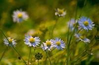 Blue Delicate Wild Daisies