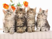 Orange Peonies and 4 Cute Grey Tabby Kittens