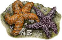 Ochre Sea Stars or Starfish