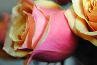 Pastel Pink and Yellow Rose
