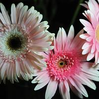 Pastel Pink Daisies Art Prints & Posters by Cindy Boyd