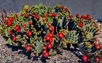 Red Prickly Pear Cactus