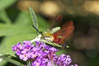 Clearwing Hawk Moth  - Hummingbird Moth