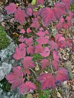 Autumn Maple Leaf Viburnum