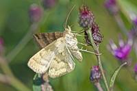 Daytime Moth on Ironweed
