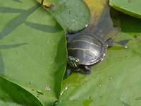 Bashful Baby Painted Turtle