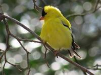 Yellow American a Goldfinch 4