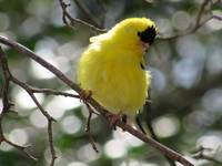 Yellow American Goldfinch 2