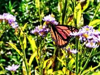 Monarch Butterfly on Purple Wildflower