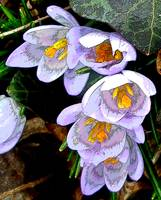 Purple Crocus with English Ivy