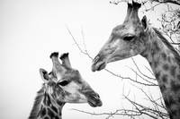 Giraffe couple in Black and White