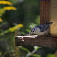 Nuthatch Balancing Act by Karen Adams