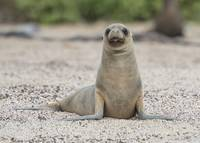 Sea Lion Pup, Galapagos