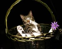 Bodhi Cat in a Basket